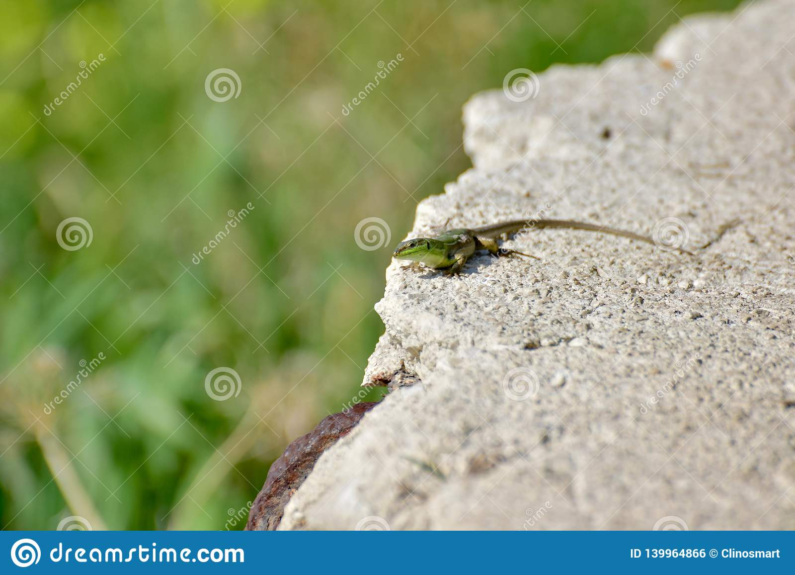 Un petit regard vert de llizard