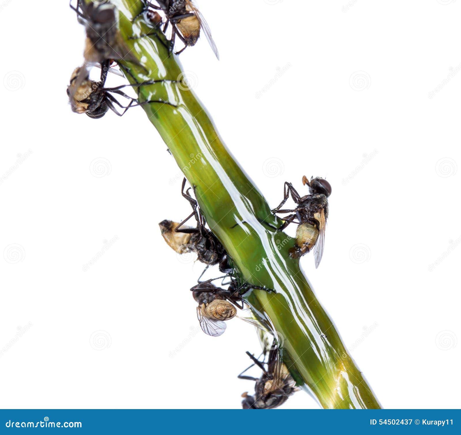 Un piège pour des mouches sur un fond blanc