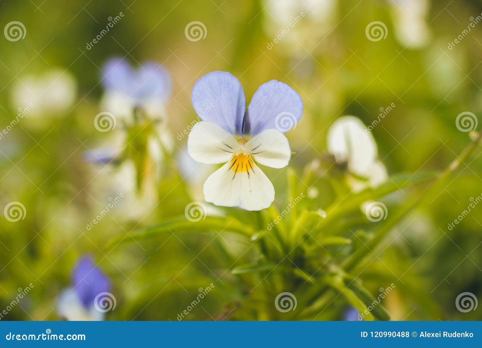 Un piccolo bello fiore di parecchi colori e petali luminosi si