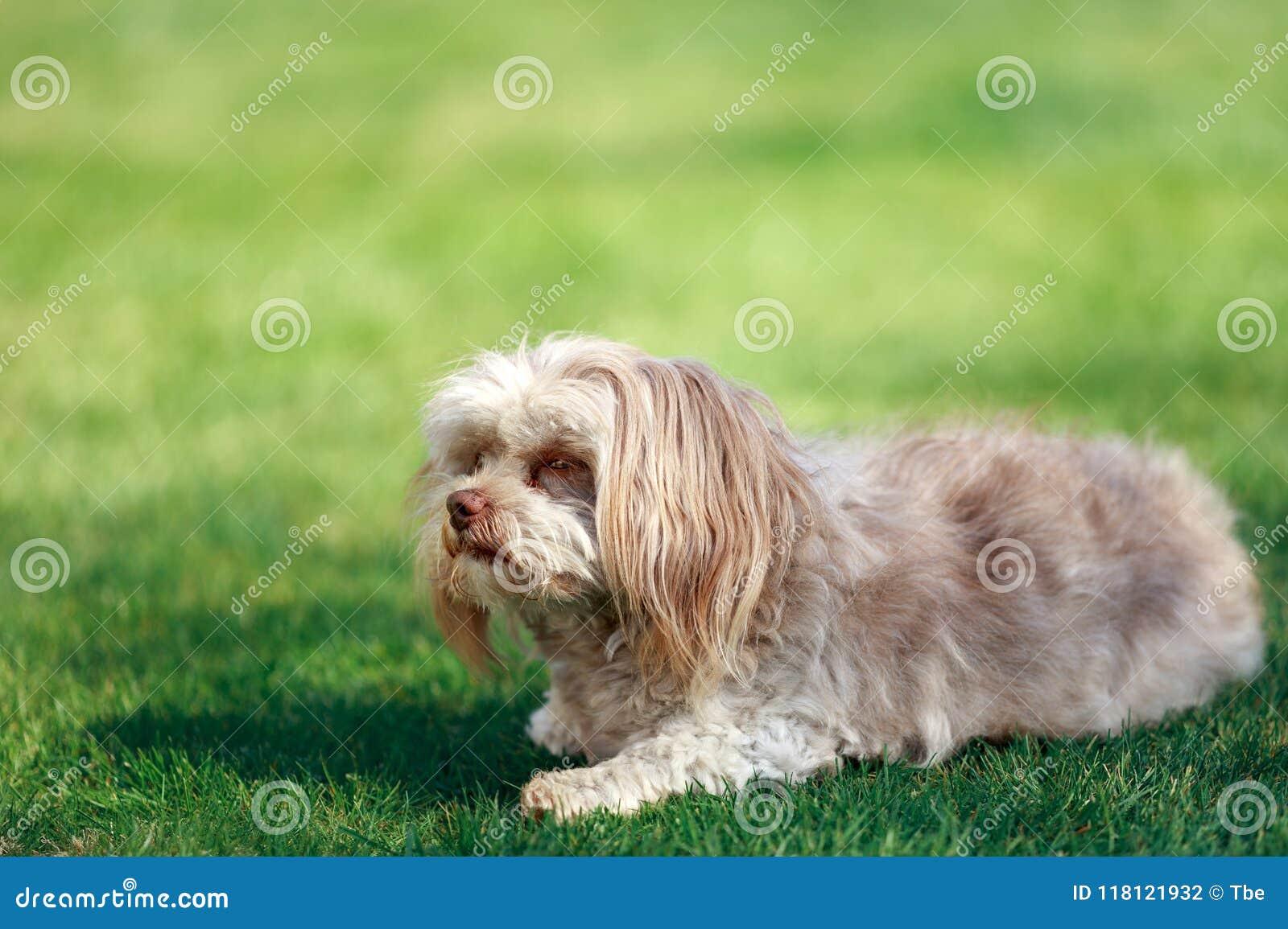 Un Piccolo Cane Adorabile Con Il Naso Marrone Unico Fotografia Stock