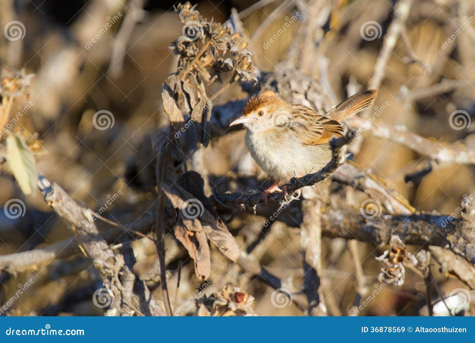 Download Un Piccolo Cisticola Del Browm Si Siede Sui Rami Asciutti Immagine Stock - Immagine di aviario, selva: 36878569