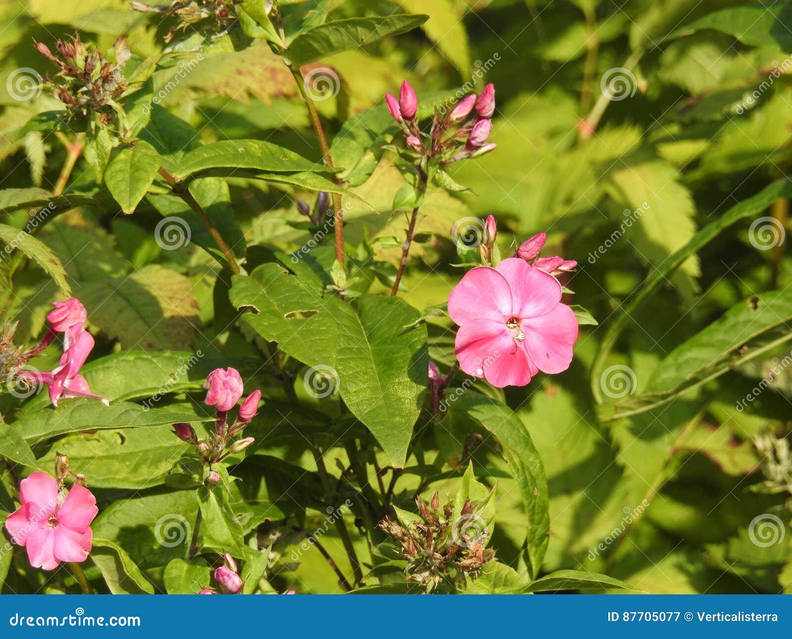 Fiori 5 Petali Rosa.Un Piccolo Fiore Rosa Selvaggio Con 5 Petali Rotondi Immagine