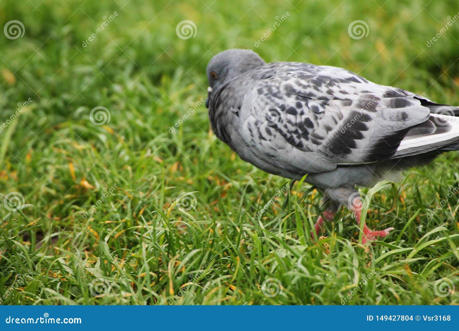 Un pigeon boursouflé marchant dans un pré dans la rosée de matin
