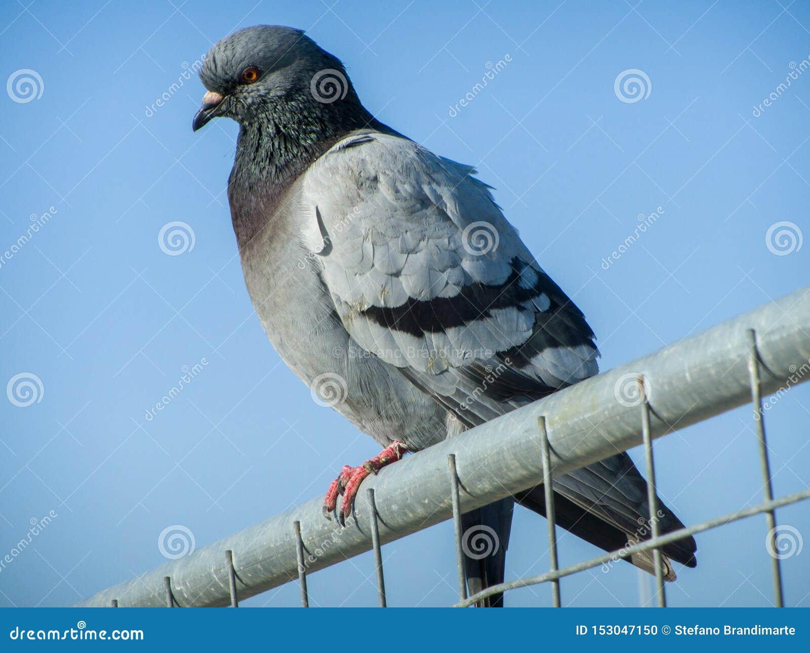Un pigeon commun trouvé sur une barrière au port de Pescara