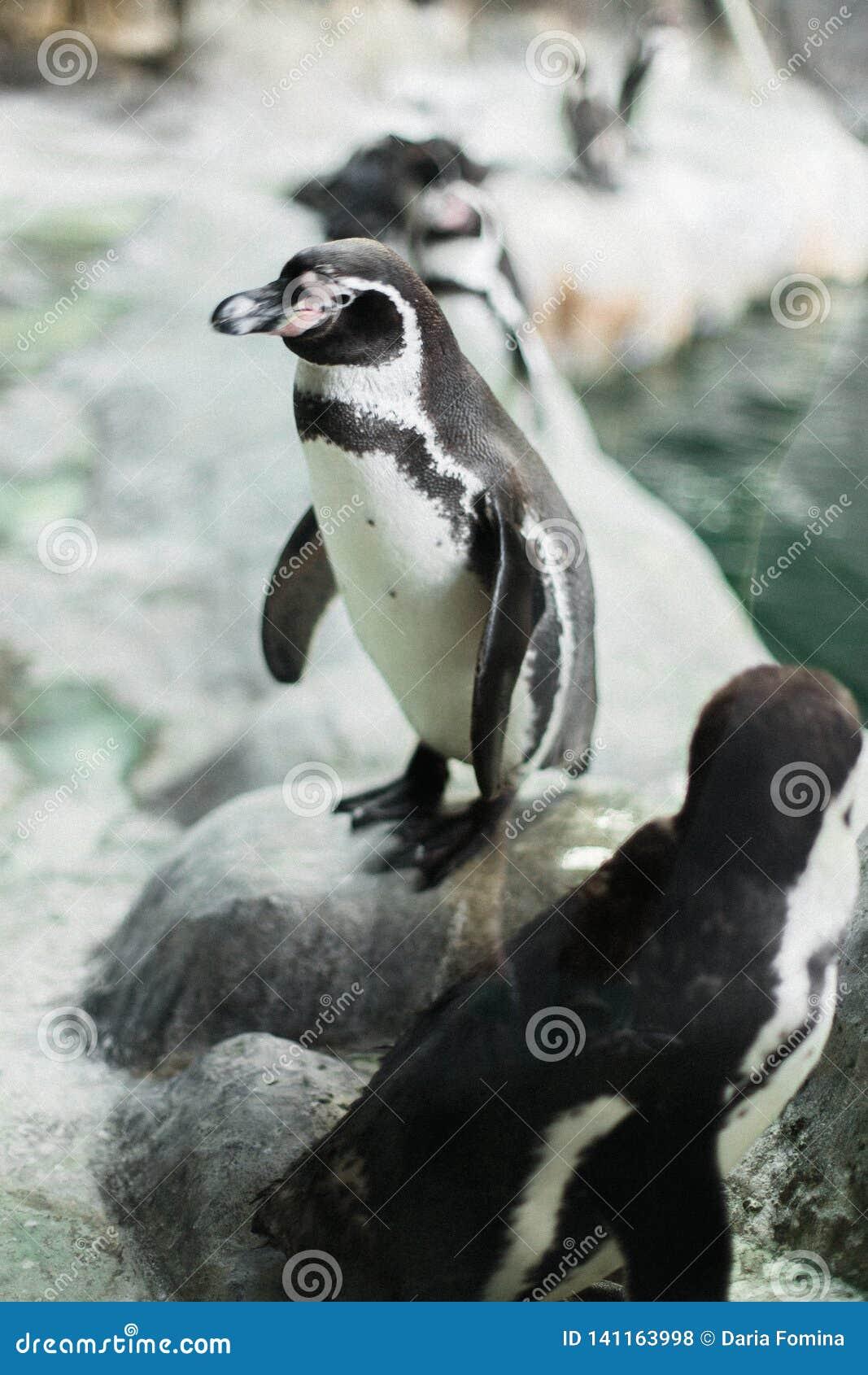 Un pinguino in uno zoo che fissa alla macchina fotografica con altri pinguini