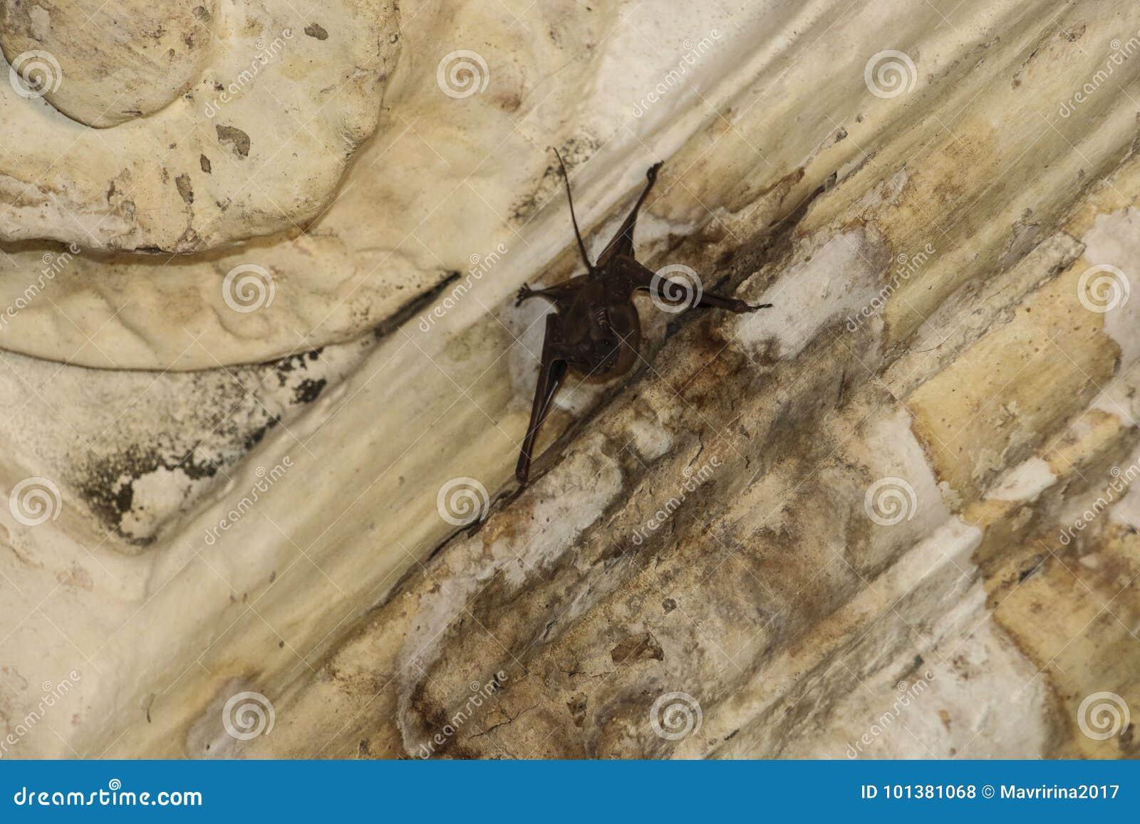 Un pipistrello sul soffitto di vecchia costruzione