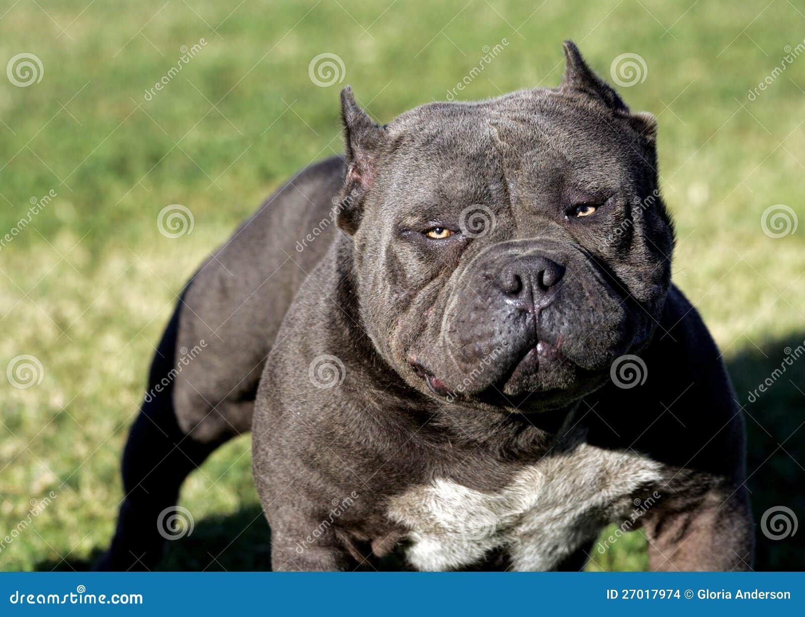 Un pitbull très intense