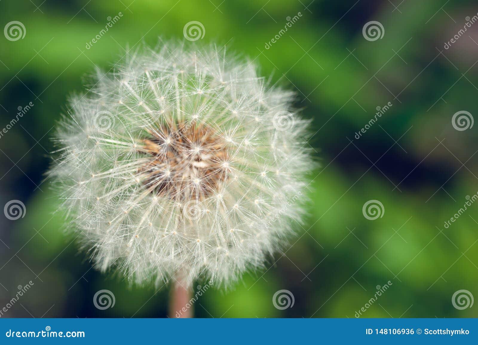 Un plan rapproché d une fleur de pissenlit allée pour semer