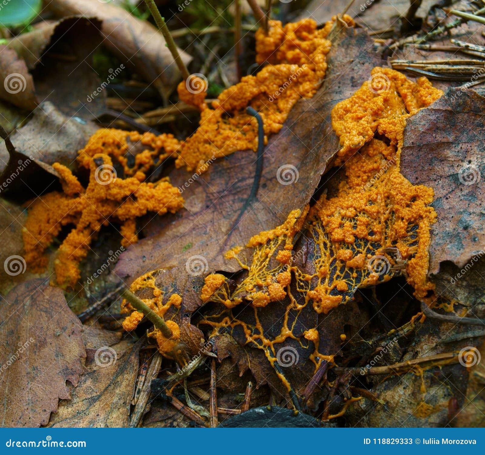 Un plasmodium mobile orange d un moule de boue sur une feuille morte