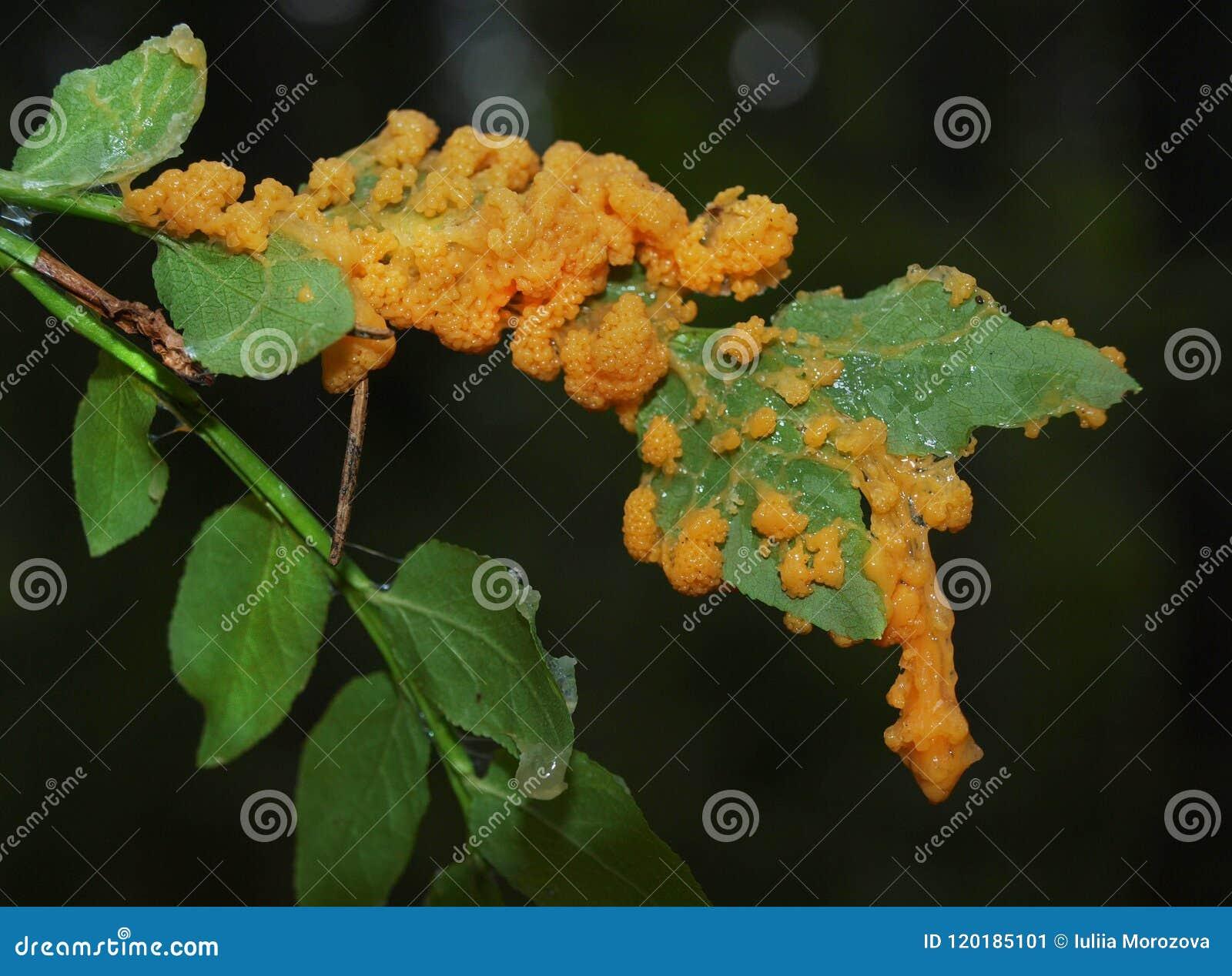 Un plasmodium orange d un moule de boue sur une herbe