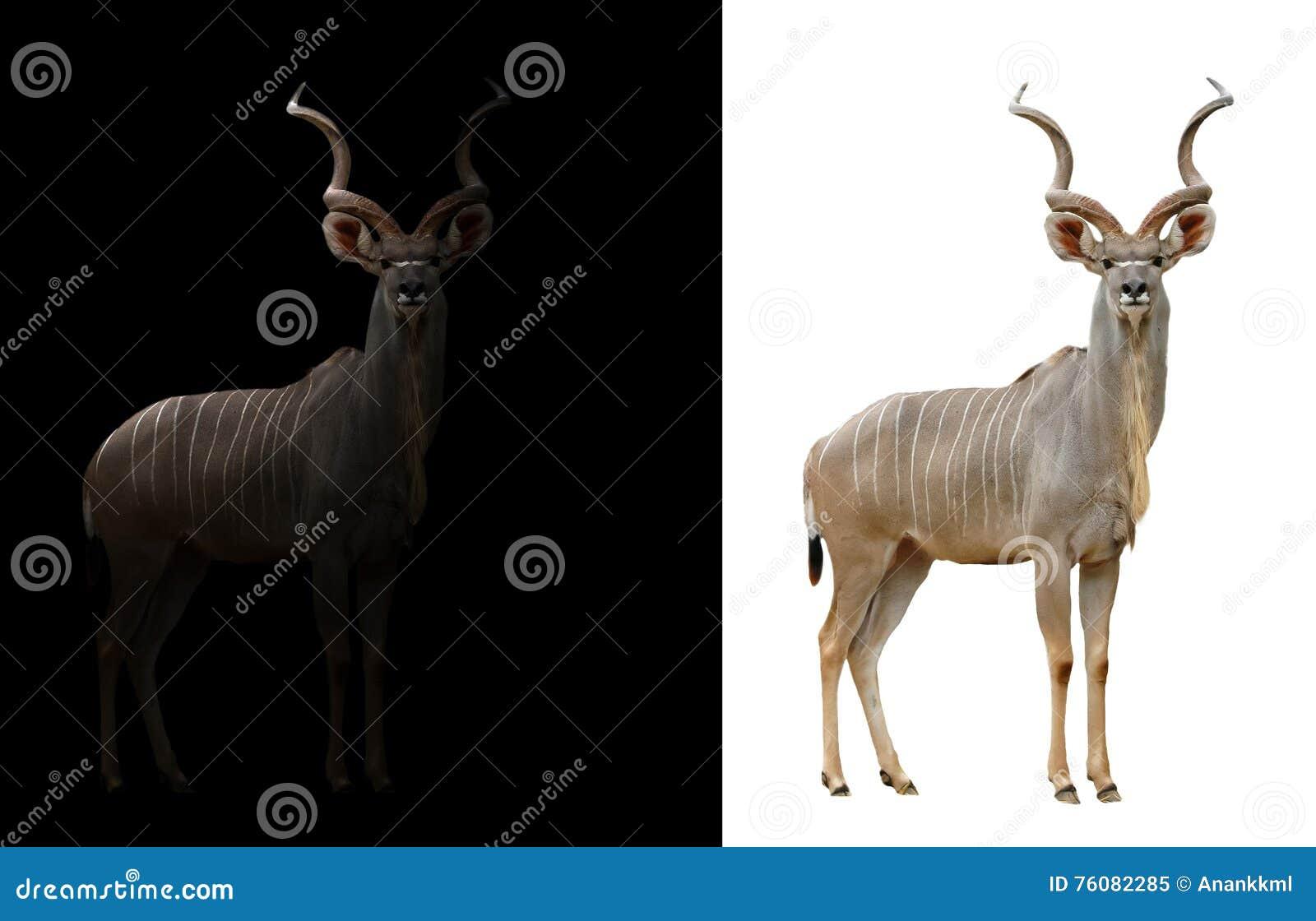 Un plus grand kudu à l arrière-plan foncé et blanc