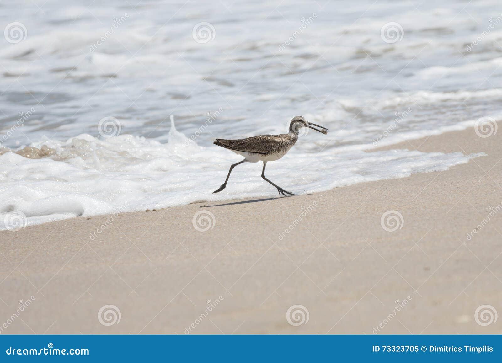 Un plus grand Yellowlegs obtient un escargot de mer, plage de Playalinda, Merritt I