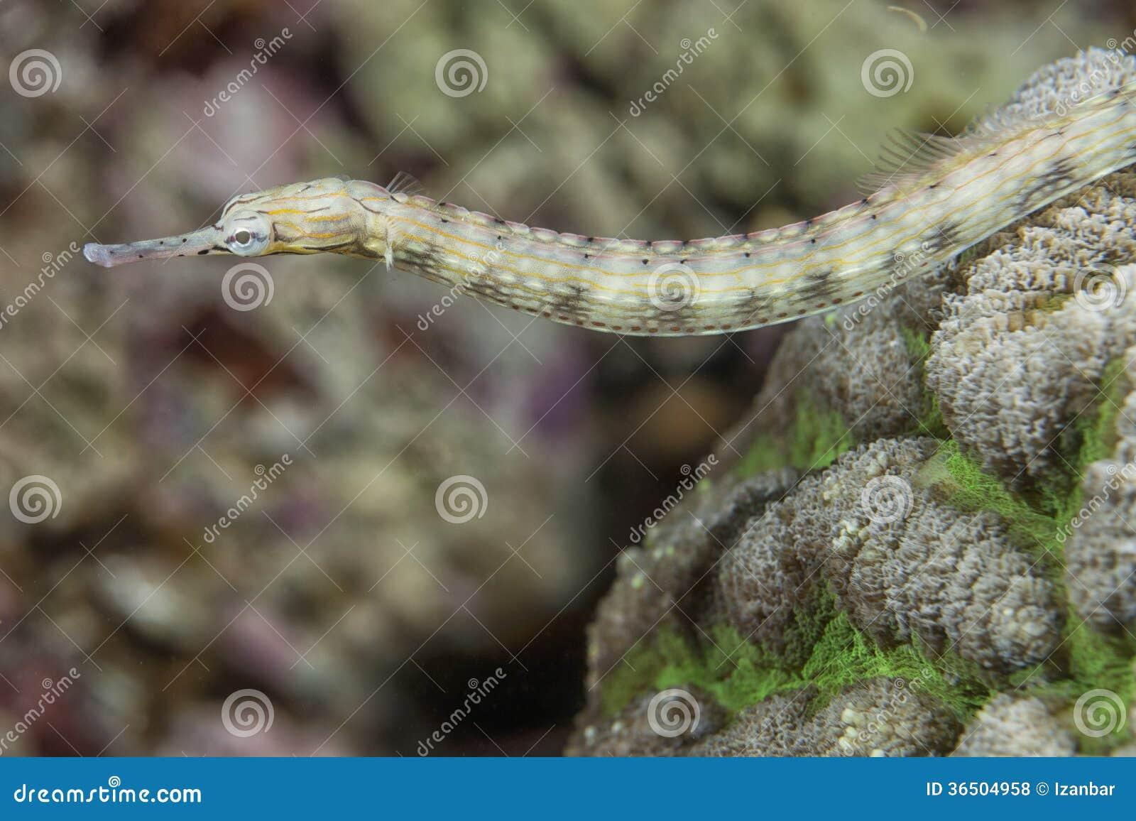 Un poisson de tuyau de famille d hippocampe