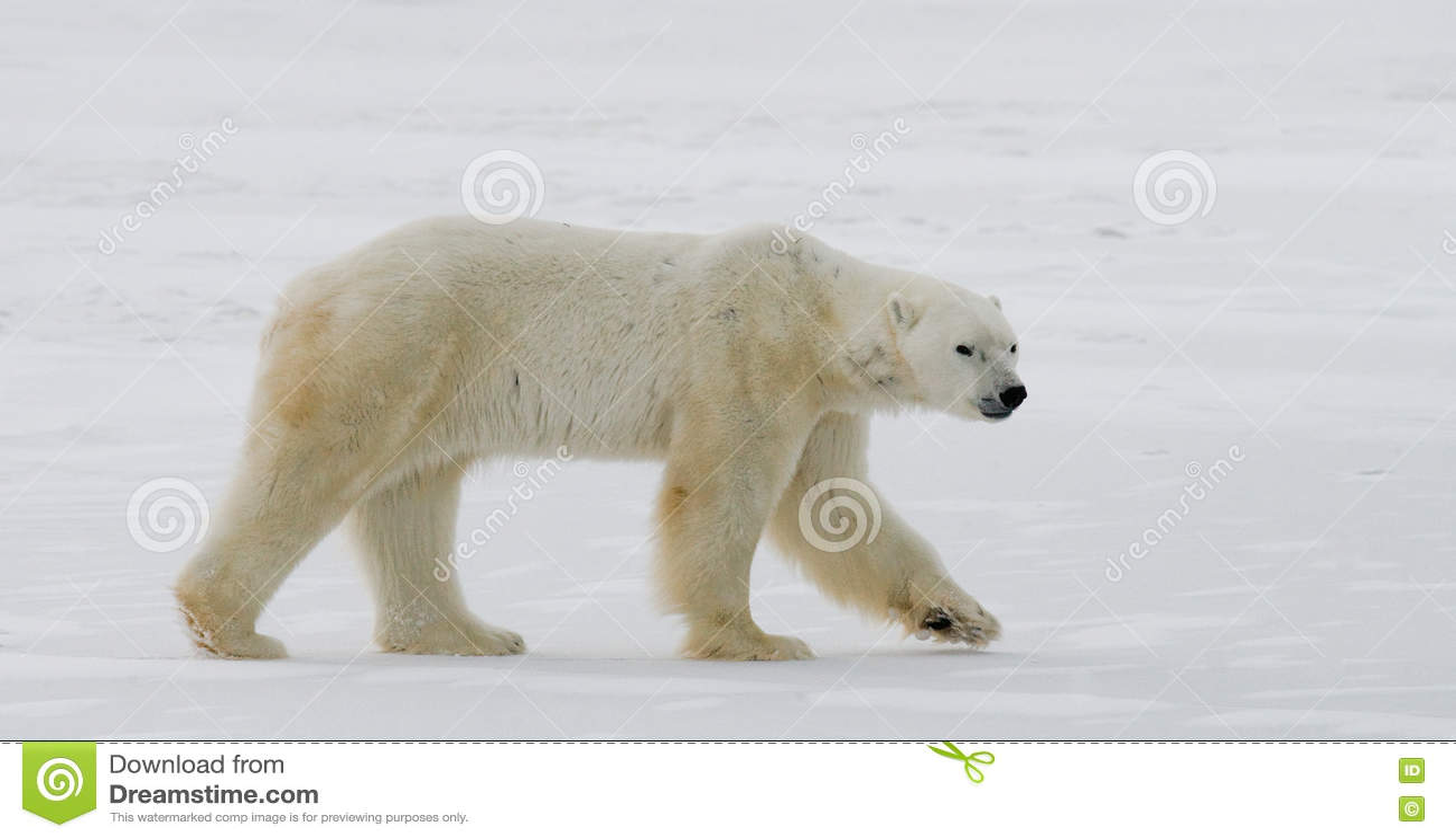 Un polaire concerne la toundra neige canada