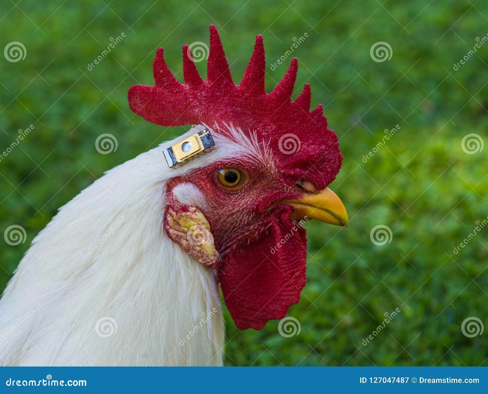 Un pollo con un microprocesador