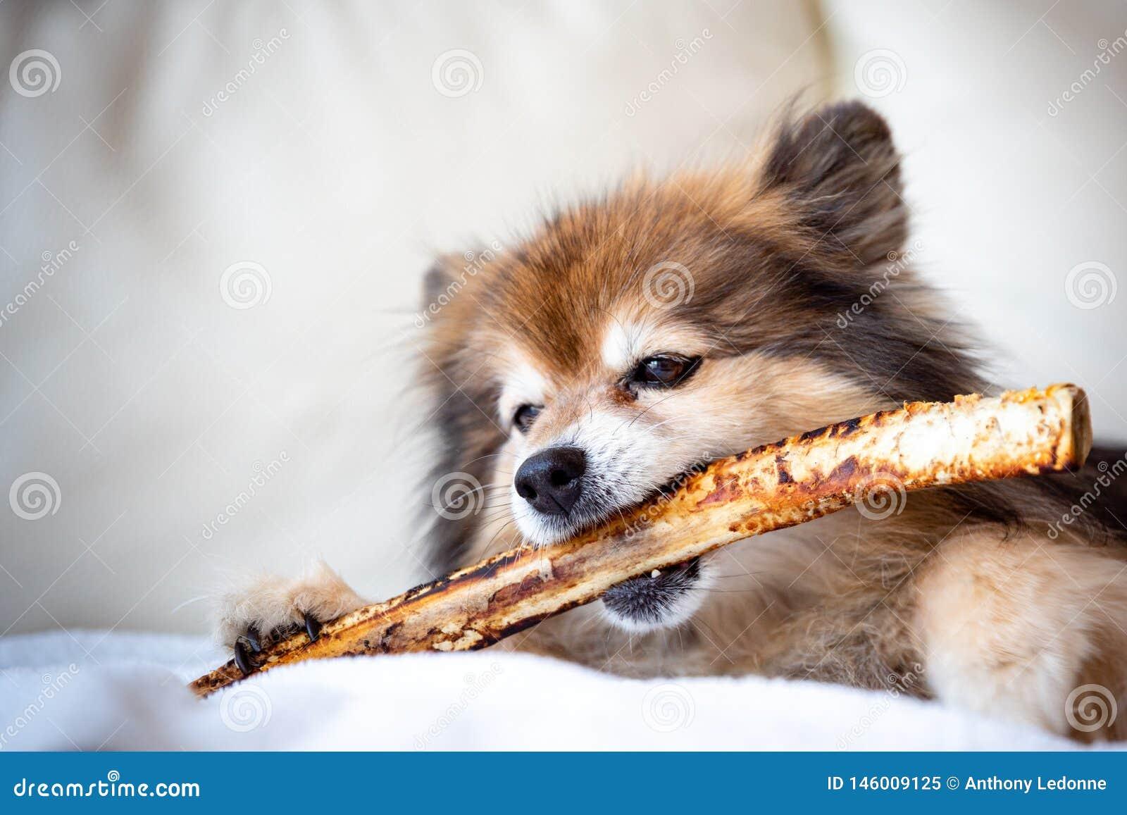 Un Pomeranian mastica un hueso grande