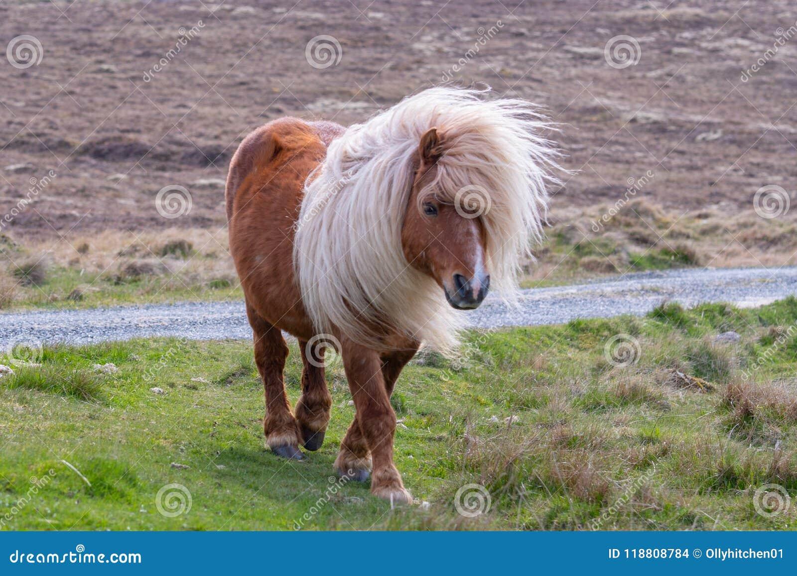 Un poney de Shetland solitaire marchant sur l herbe près d une route à rail unique dessus