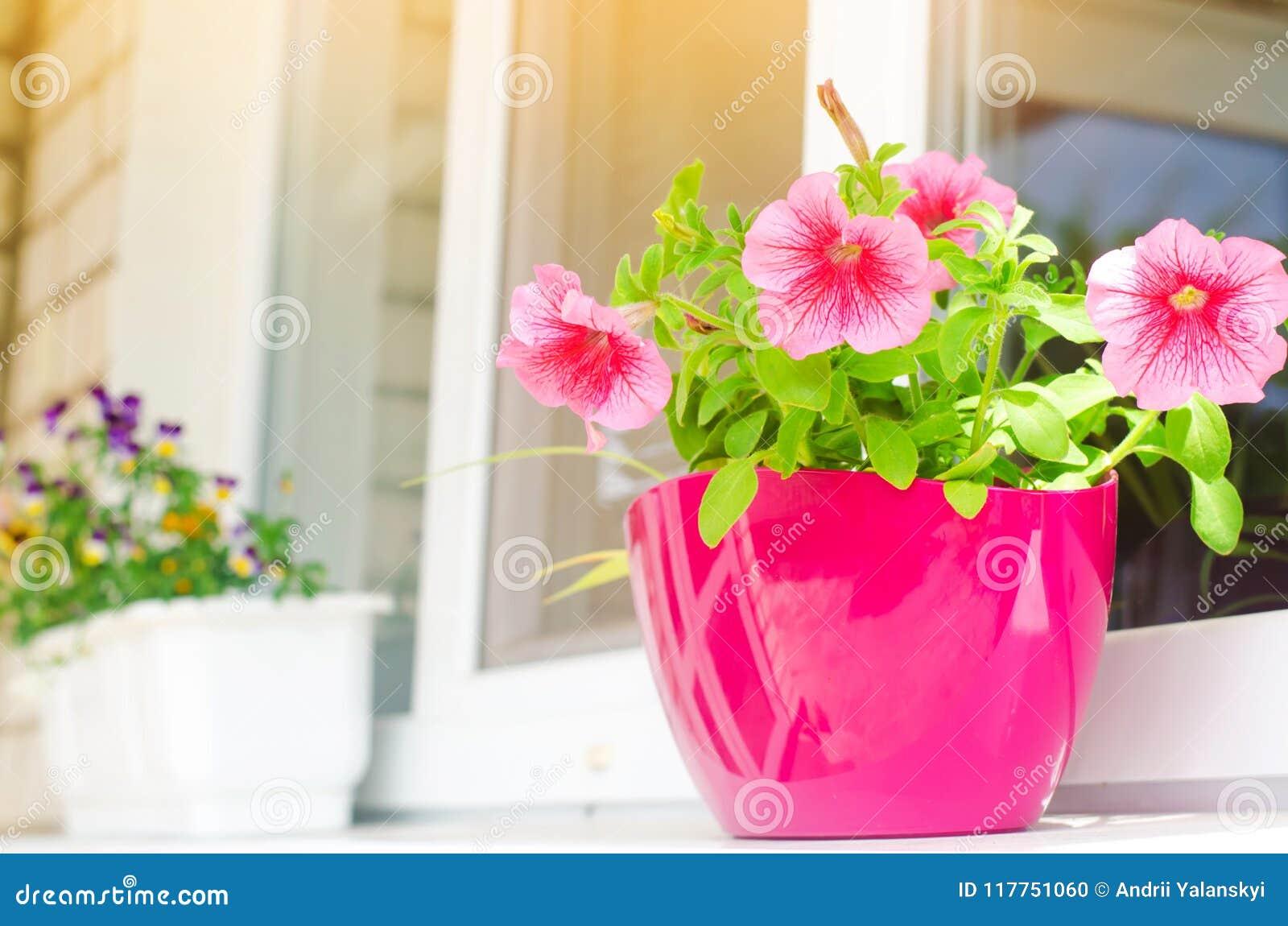 Un pote de petunias rosadas se coloca en la ventana, las flores hermosas de la primavera y del verano para el hogar, el jardín, e
