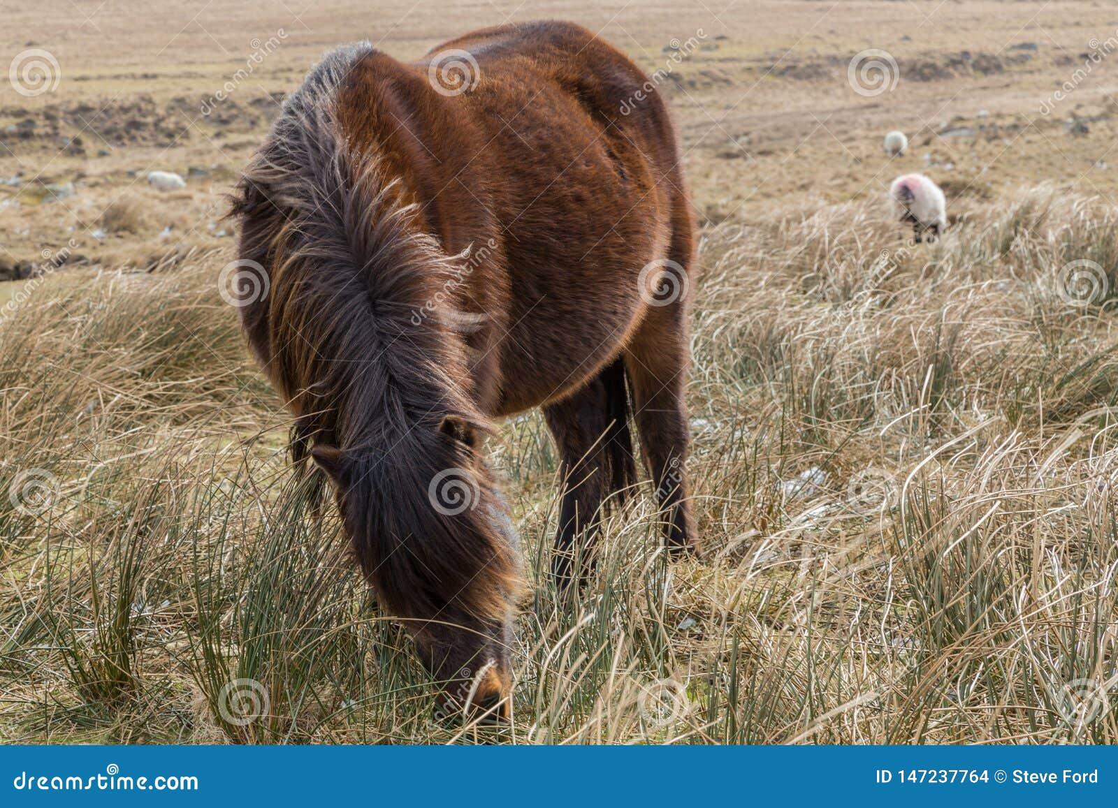 Un potro de Dartmoor con él es plumón principal que pasta en la hierba seca del parque nacional de Dartmoor, Inglaterra