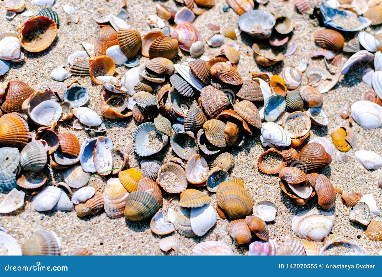 Un primer de las conchas marinas septentrionales que mienten en la arena Concepto del verano Vacaciones Turismo Terapia de la nat