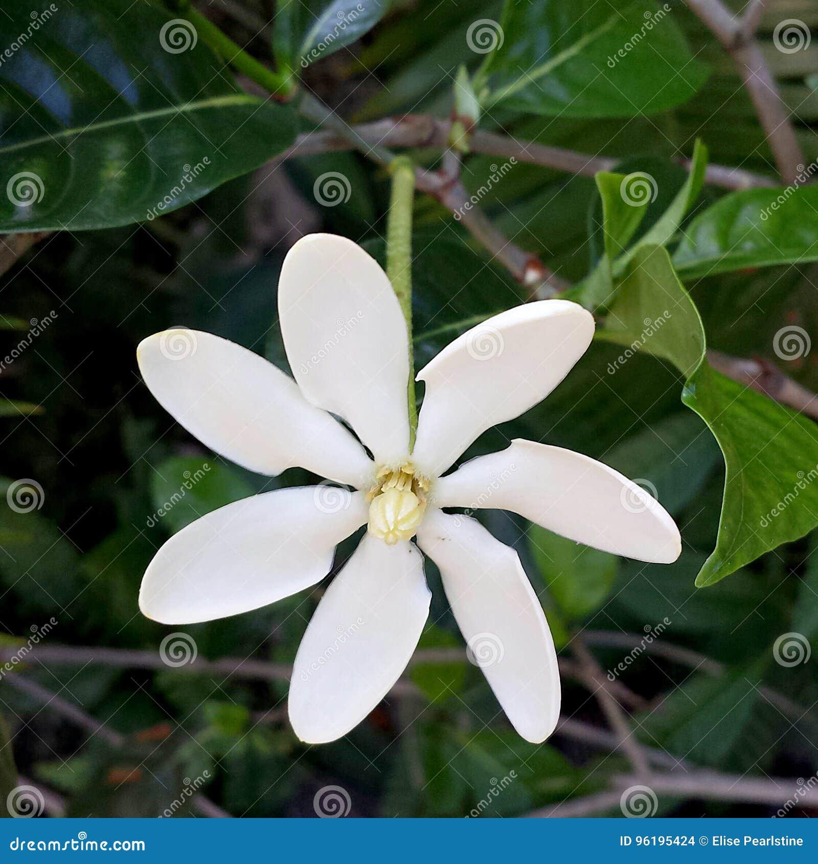 Fiori Bianchi 6 Petali.Un Primo Piano Vietnamita Del Fiore Di Gardenia Di Sei Petali