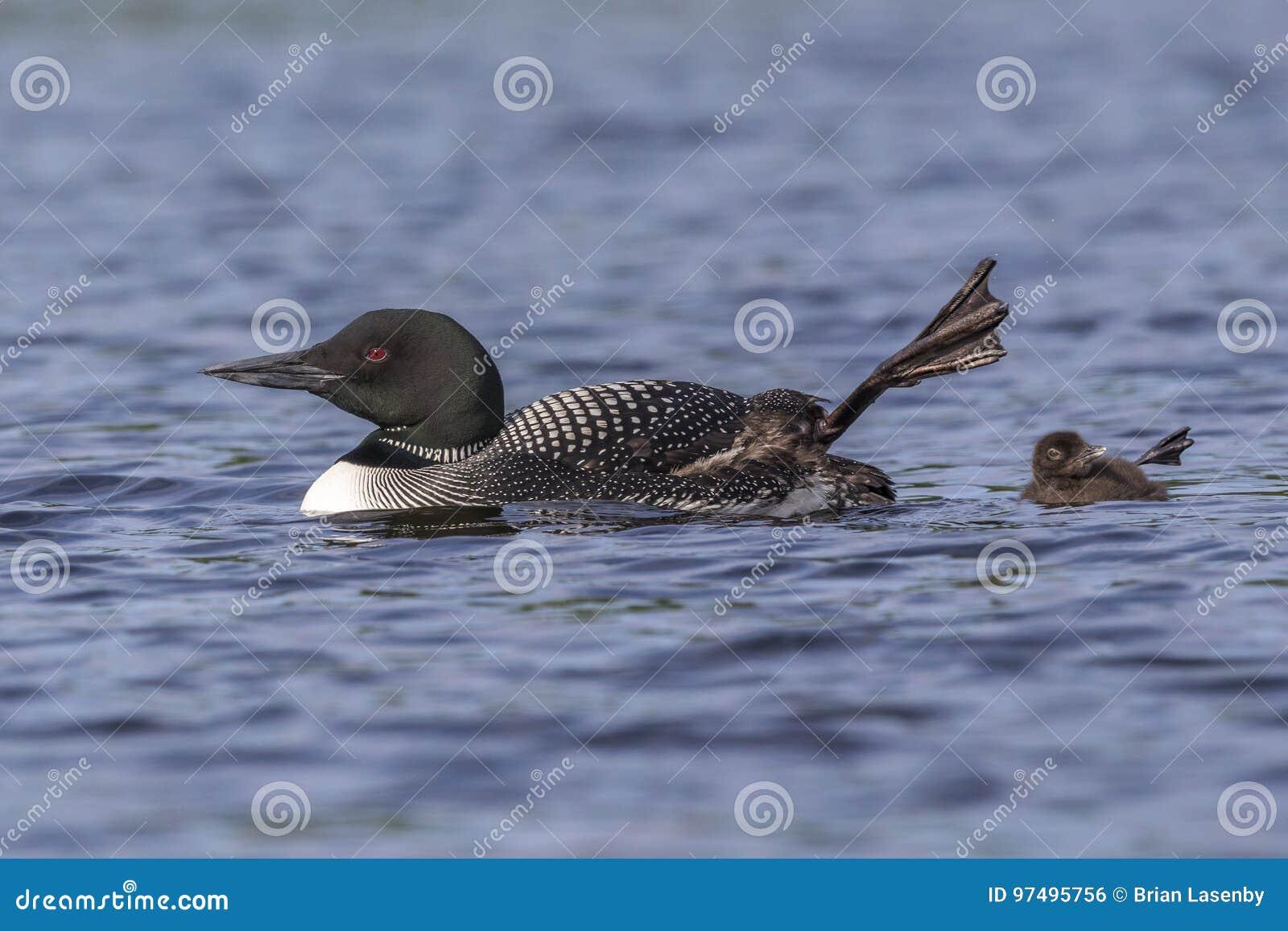 Un pulcino comune del lunatico e sua madre ondeggiano un piede nell Ontario aero-