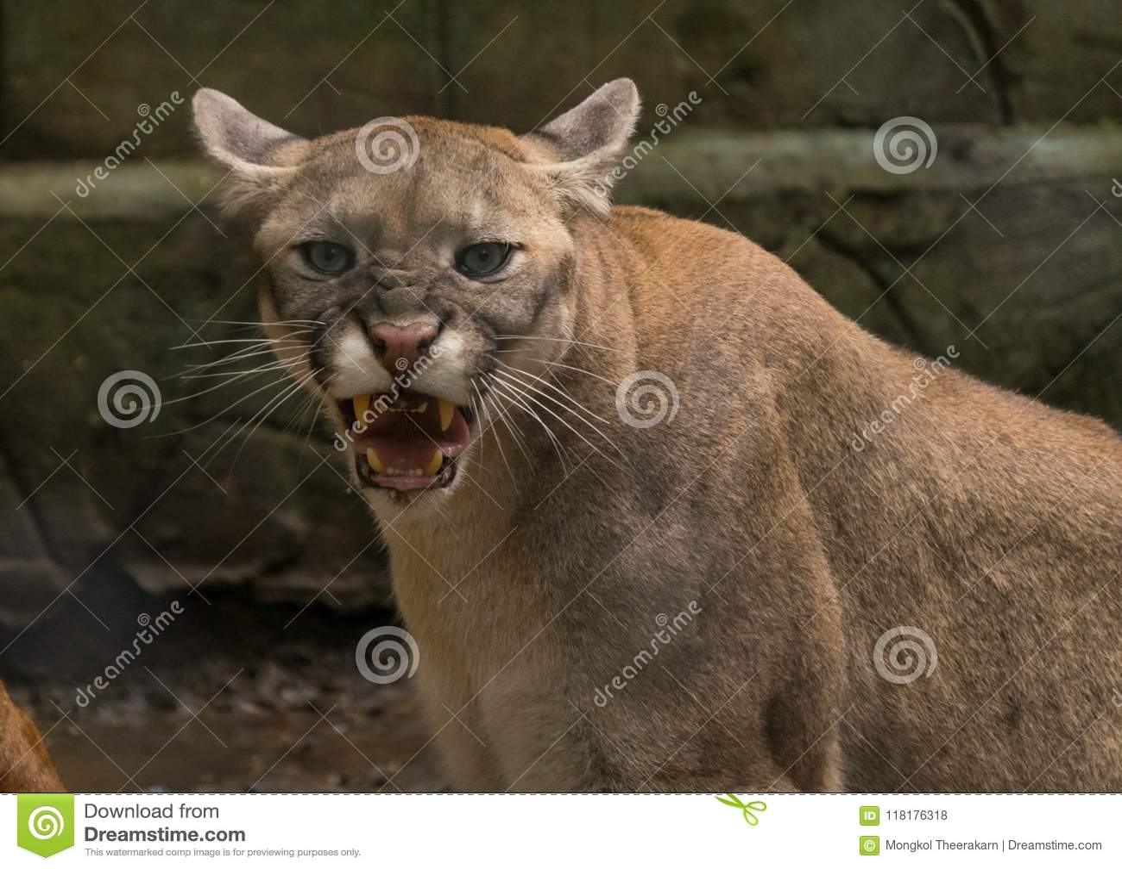 Un puma arrabbiato del puma di ringhio sta esaminandomi