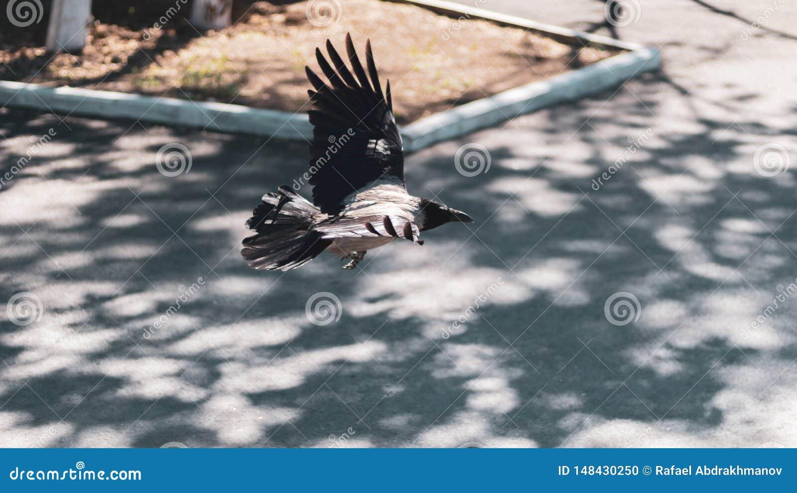 Un punto bajo triste solo del vuelo del cuervo en el parque Aleteo del ala del cuervo gris de la ciudad
