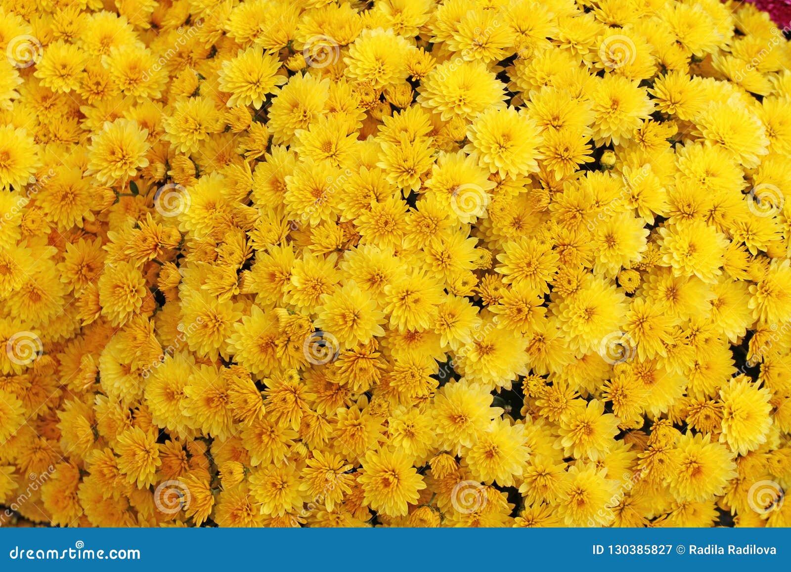 Un ramo de crisantemo hermoso florece al aire libre Crisantemos en el jardín Chrisanthemum colorido de la flor Modelo floral