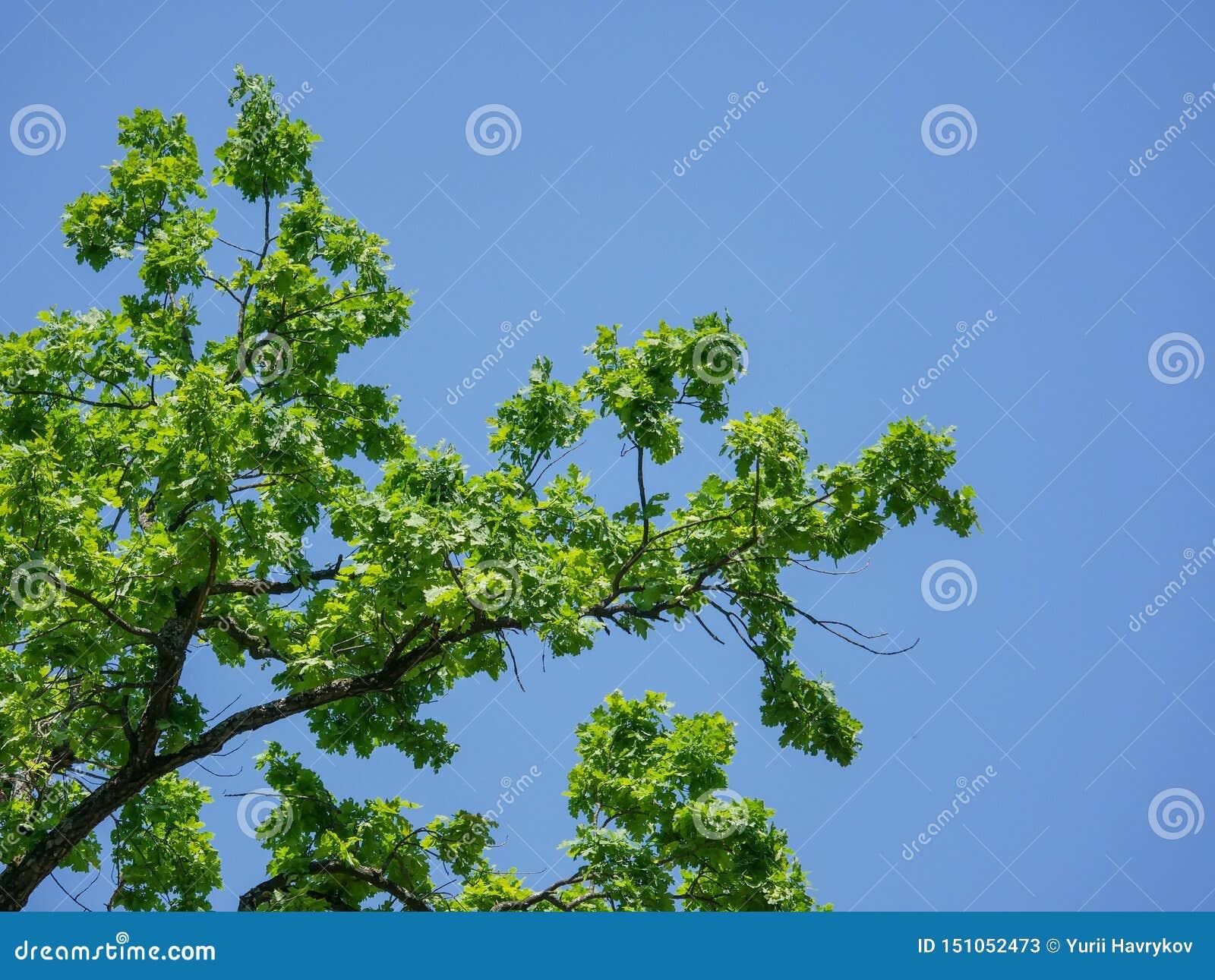 Un ramo della quercia con le foglie verde intenso contro un cielo blu di estate nel parco