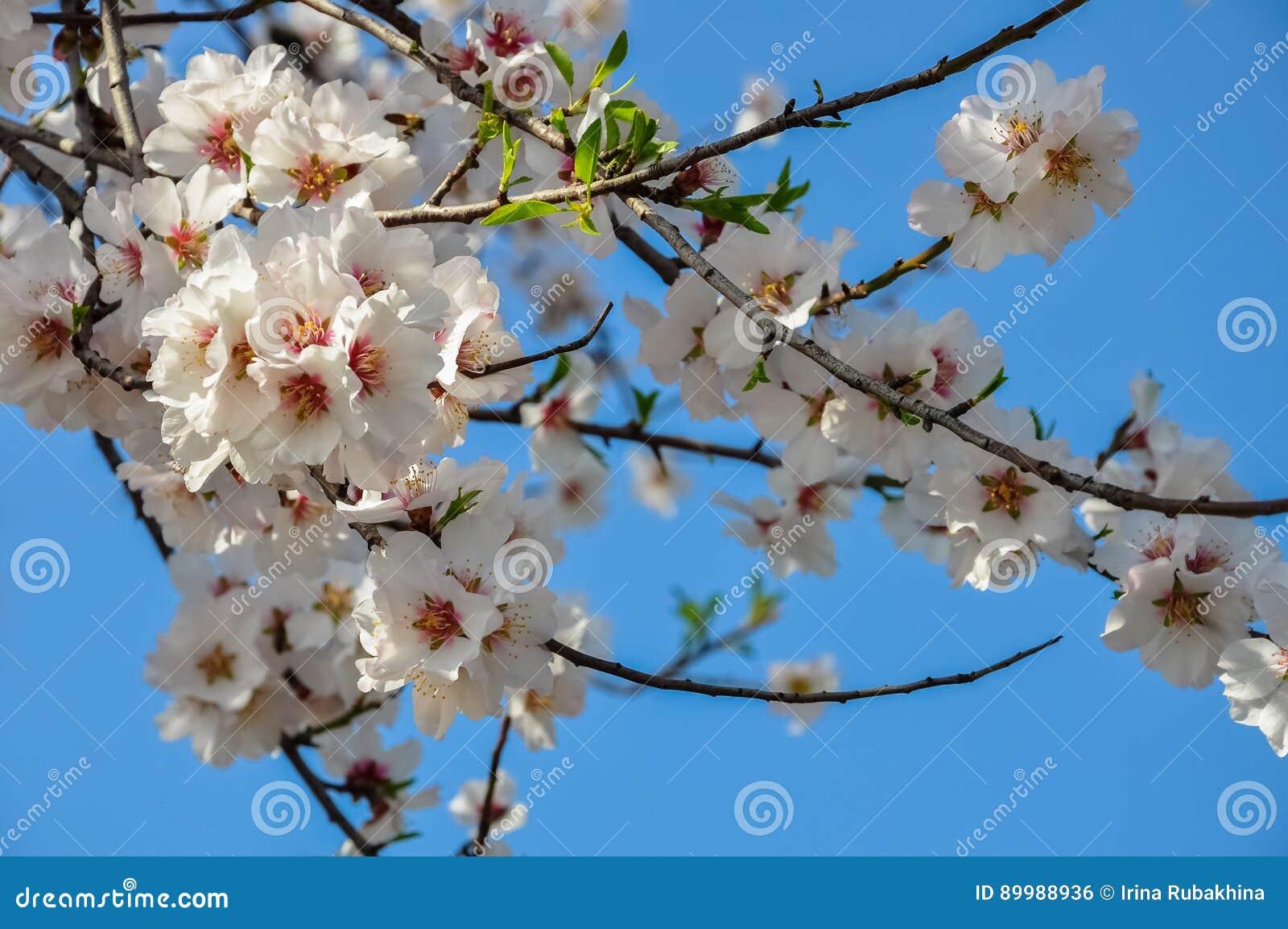 Albero Con Fiori Bianchi un ramo di fioritura del mandorlo in primavera brunch