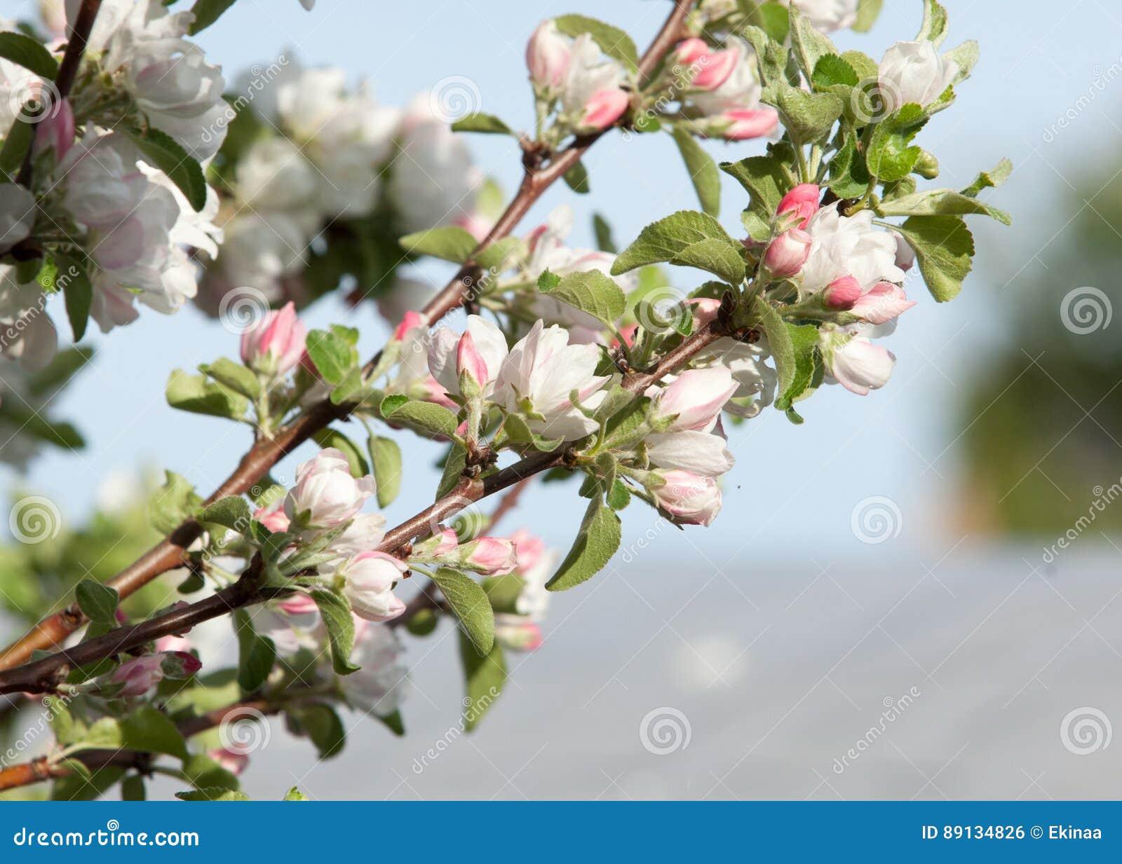 Un ramo di fioritura di di melo in primavera foto del brunch sbocciante dell albero con i fiori bianchi sul fondo di verde del bo