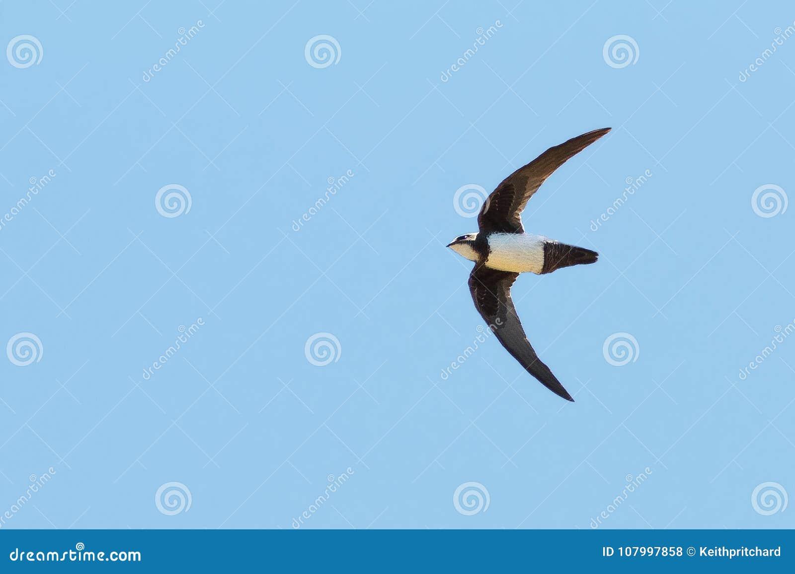Un rapide alpin, melba de Tachymarptis, en vol