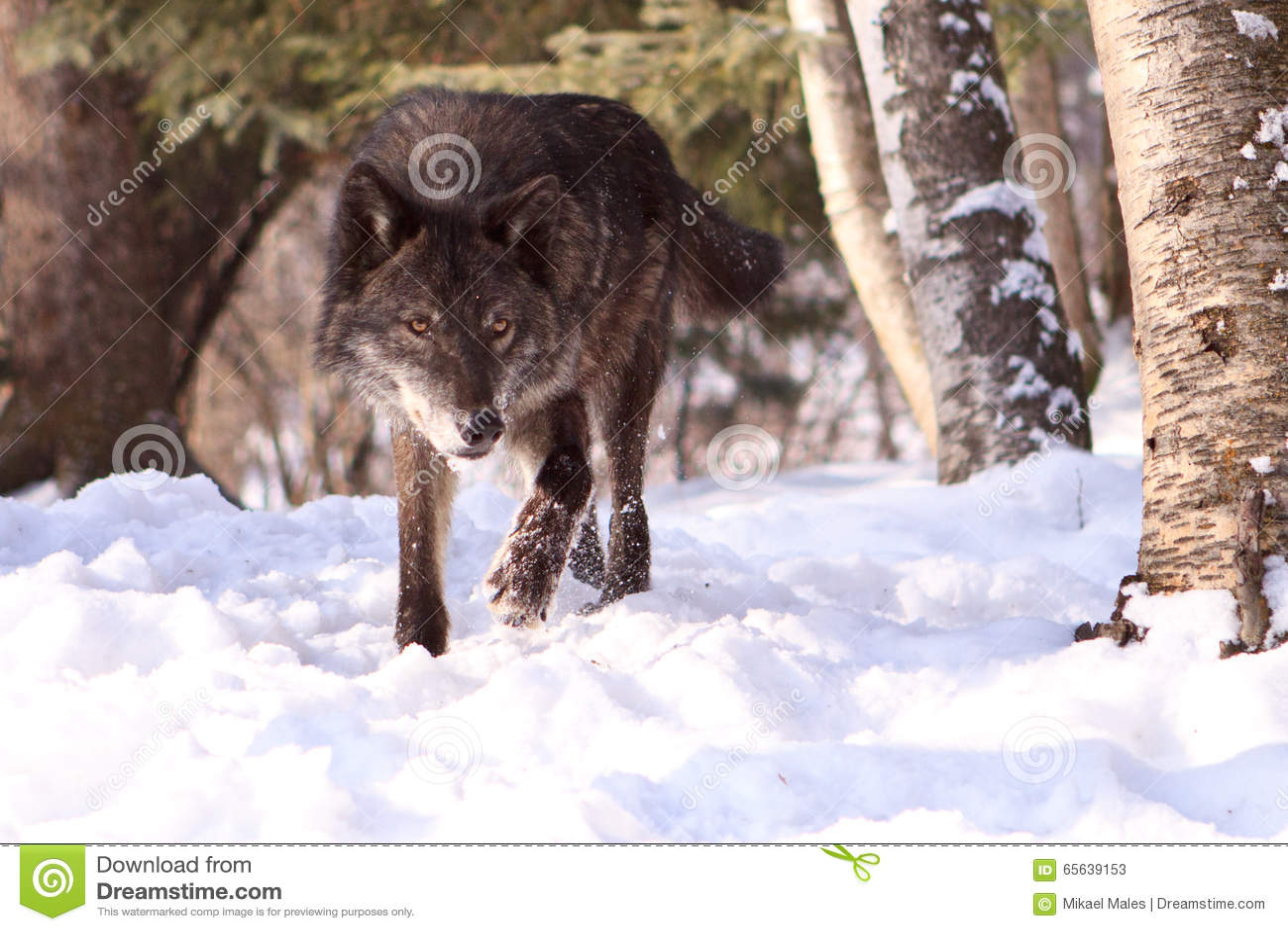 Un regard intense de la chasse de loup dans la neige