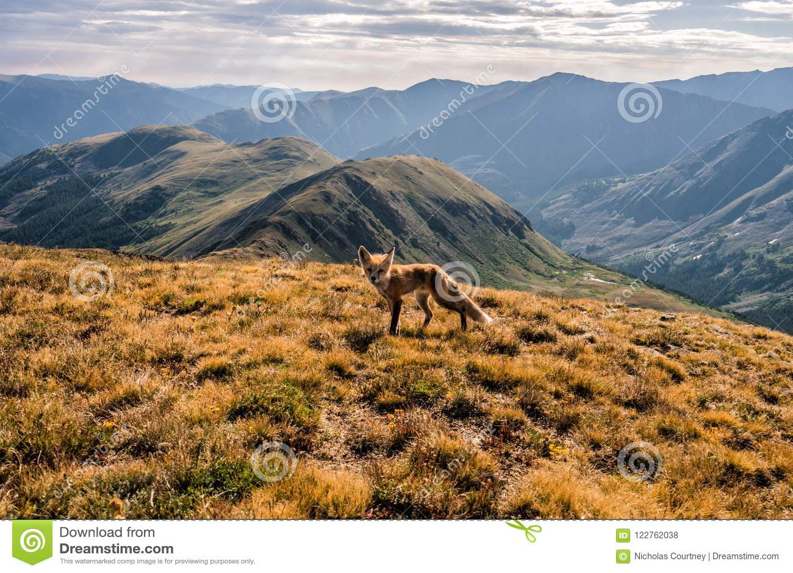 Un renard sur le sommet de la crête de cupidon Passage de Loveland, le Colorado Rocky Mountains