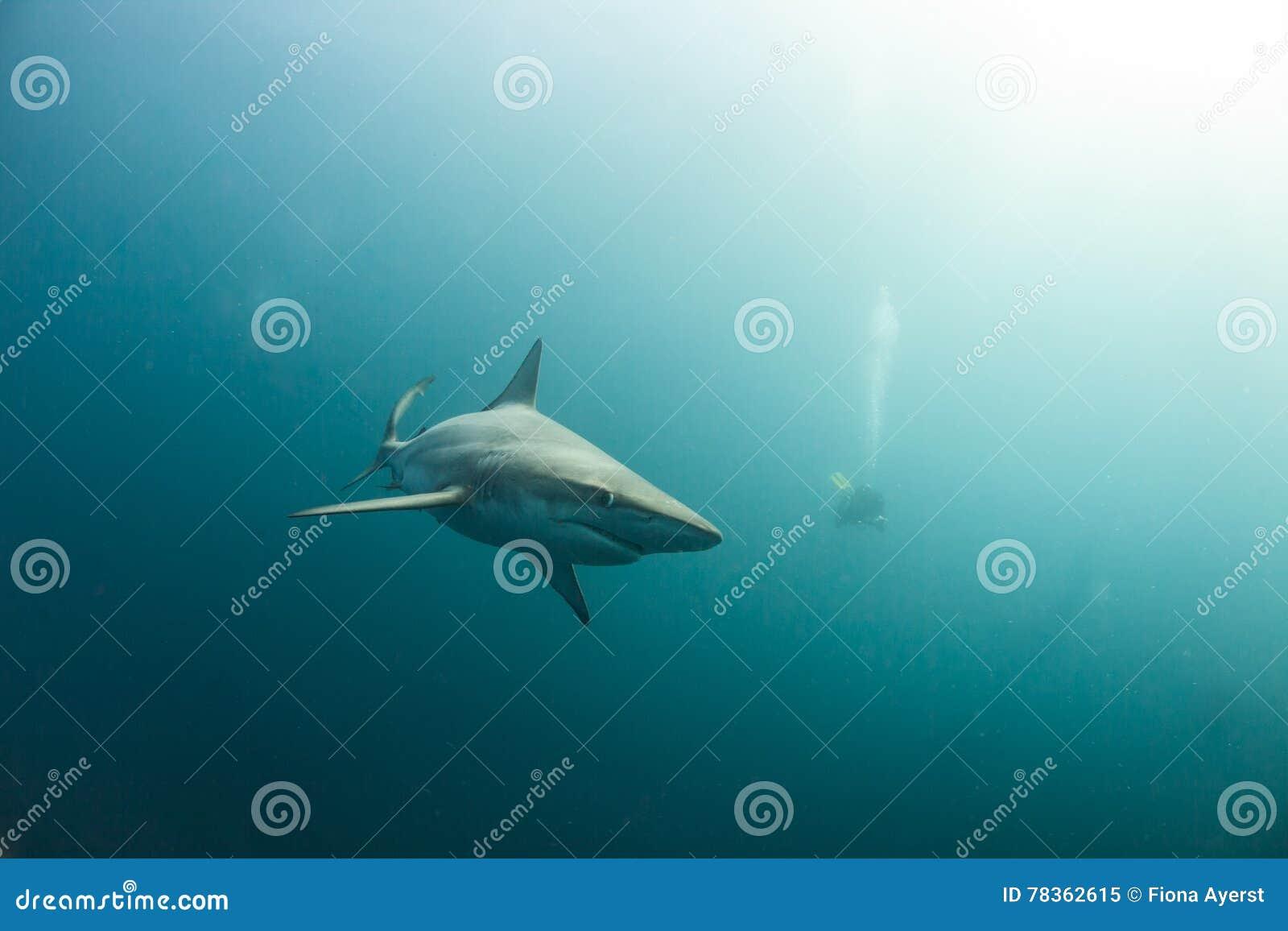 Un requin noir curieux d astuce dans un océan brumeux