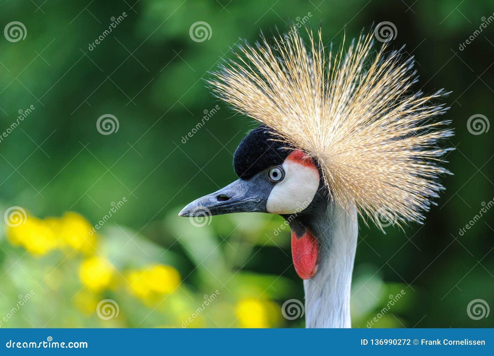 Un retrato de Grey Crowned Crane hermoso