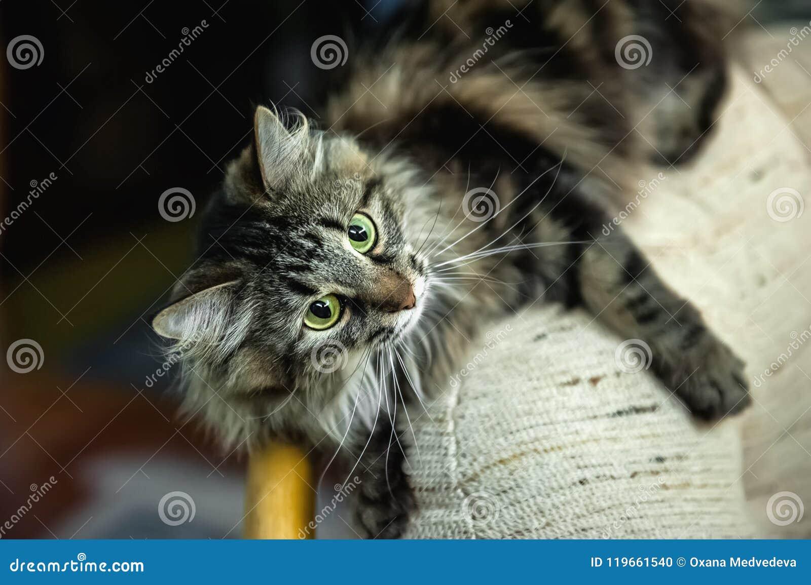 Un retrato de los gatos siberianos rusos Ataques del gato Cierre para arriba Copie el espacio