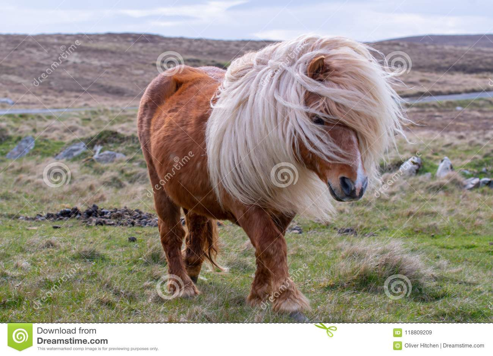 Un retrato de un potro de Shetland solitario en un escocés la amarra en