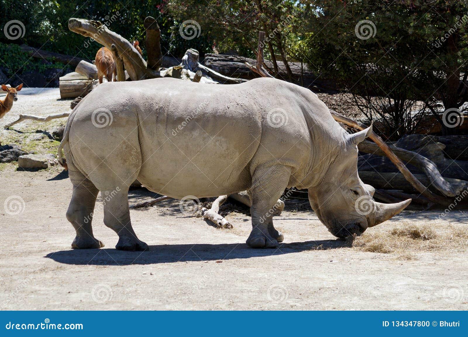 Un rhinocéros à cornes dans le zoo d Auckland