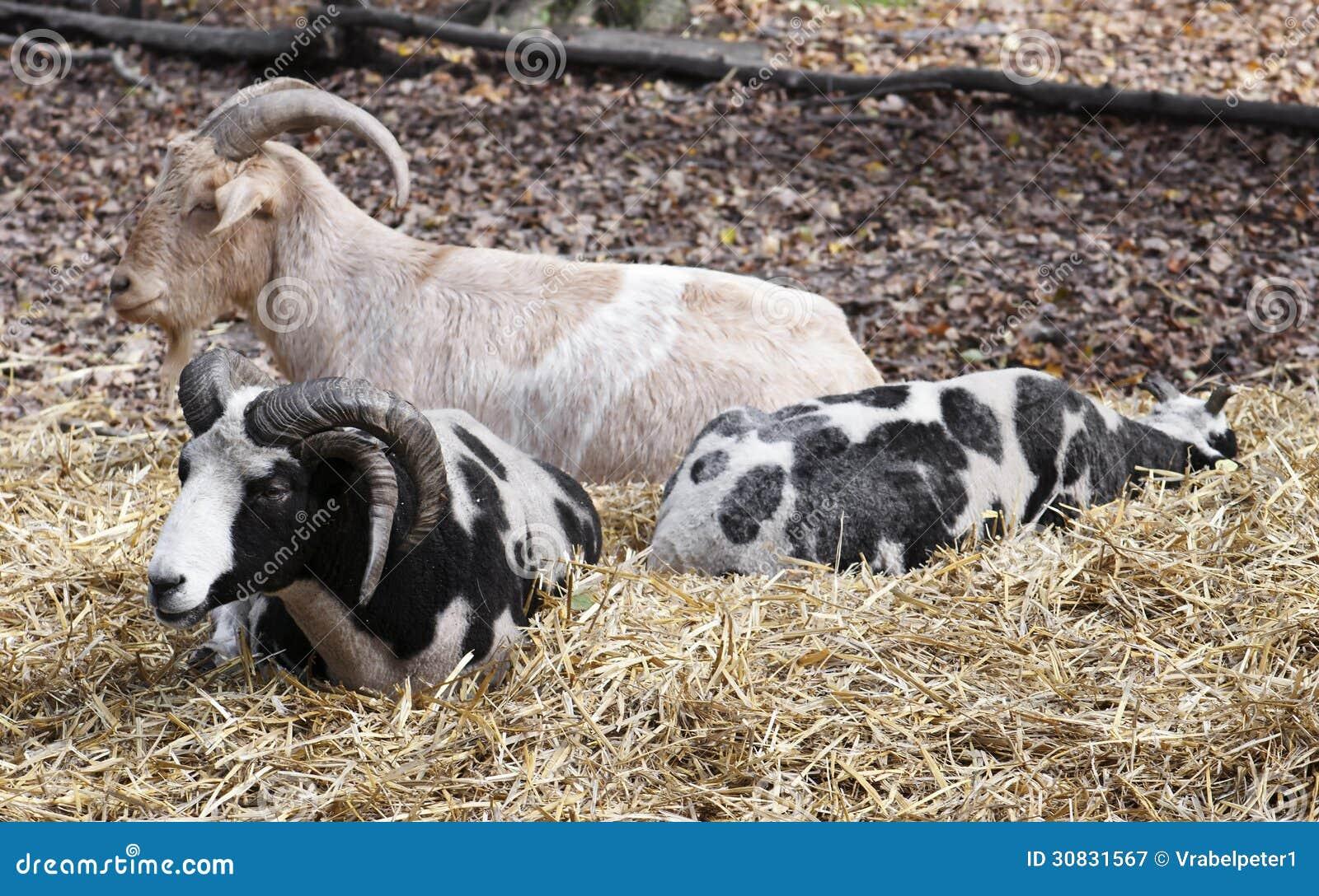 Un riposo di tre capre