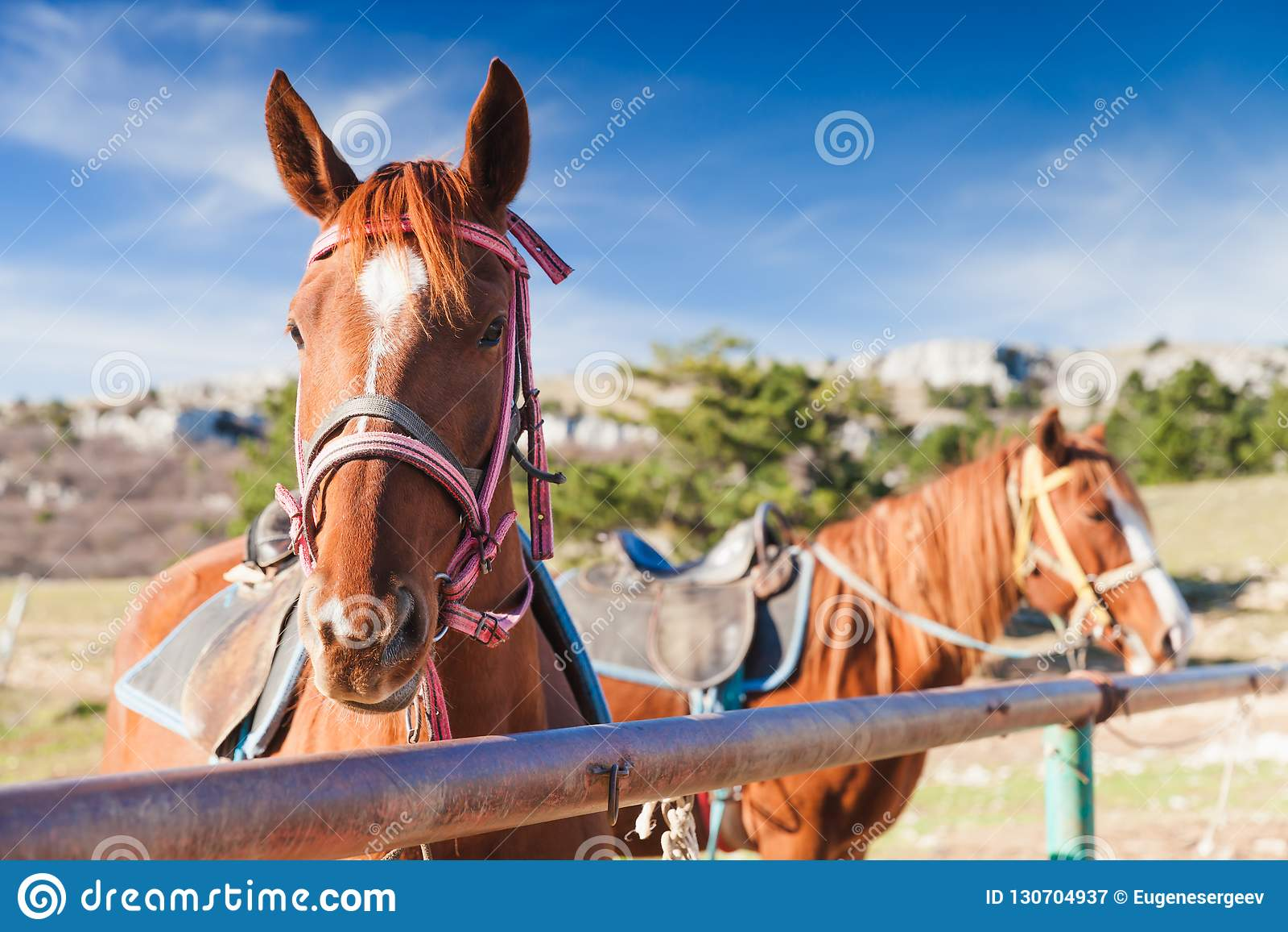 Un ritratto del primo piano di due cavalli rossi