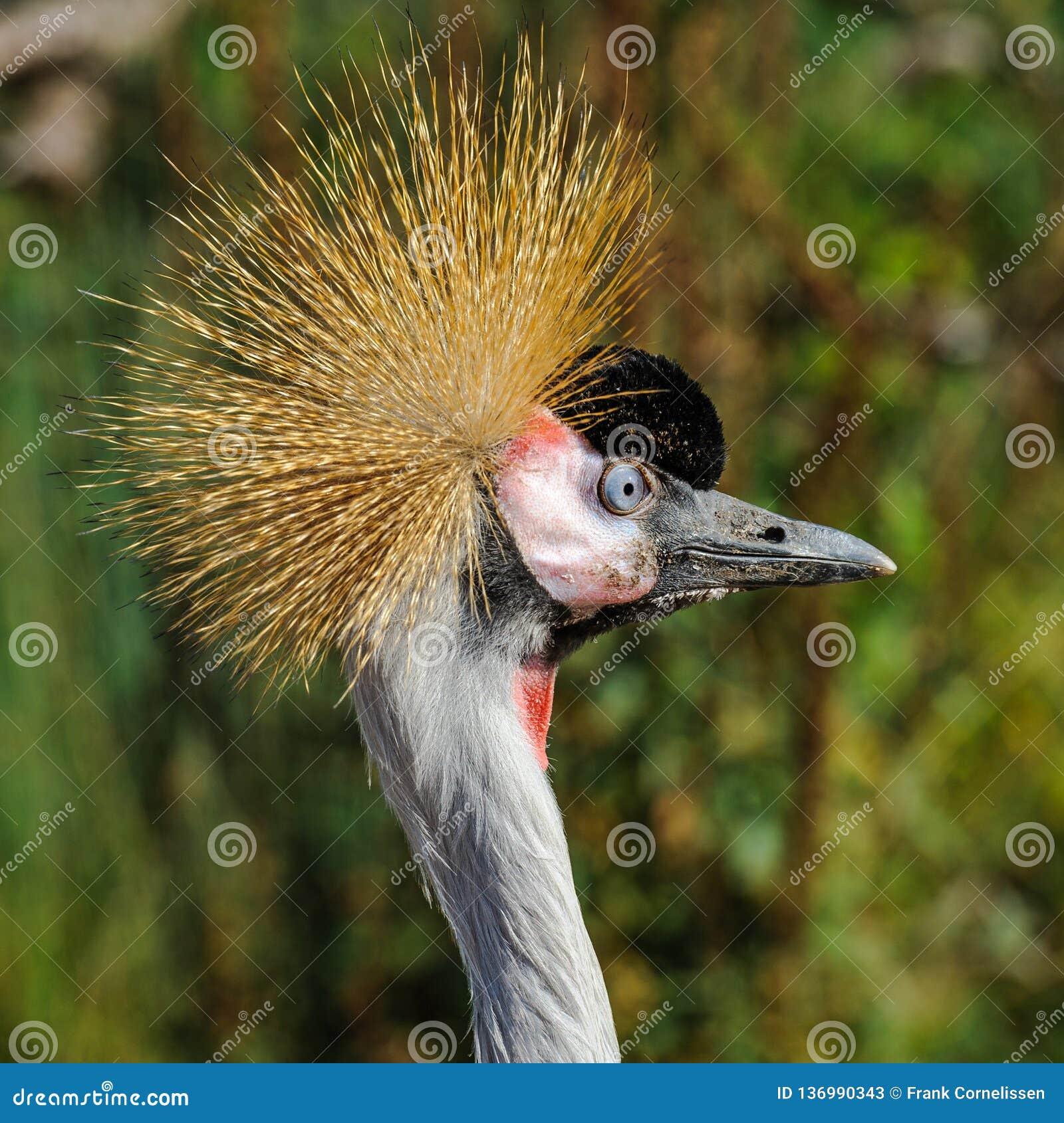 Un ritratto di bello Grey Crowned Crane