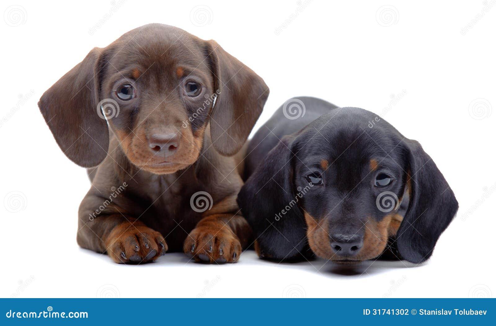 Un ritratto di due cuccioli del bassotto tedesco for Bassotto cane