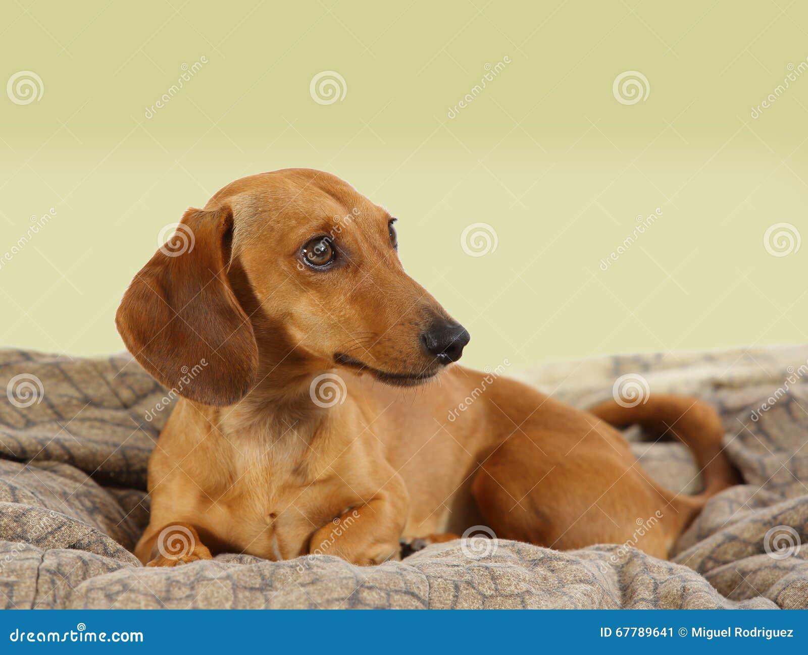 Un ritratto di un cane del bassotto tedesco immagine stock - Colorazione immagine di un cane ...