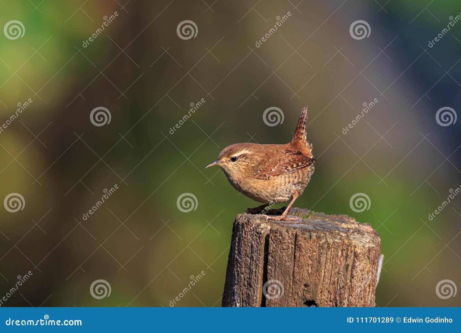 Un roitelet eurasien sur un courrier de jardin