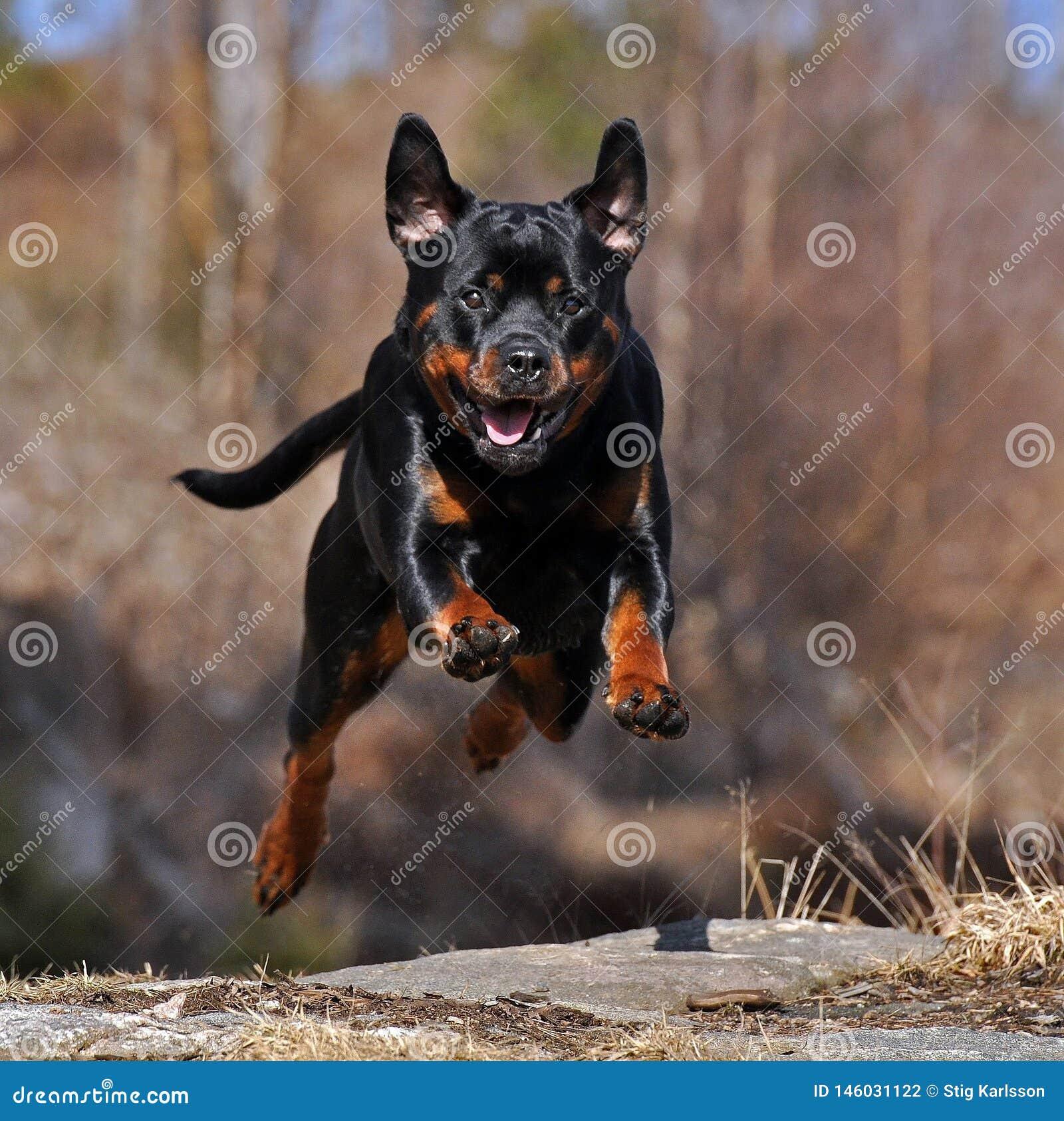 Un rottweiler femenino cogido en el salto