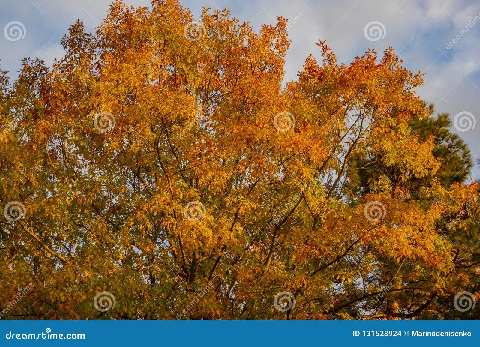 Un rubra rouge énorme de quercus de chêne avec les feuilles d or au coucher du soleil contre un ciel bleu Motif d automne