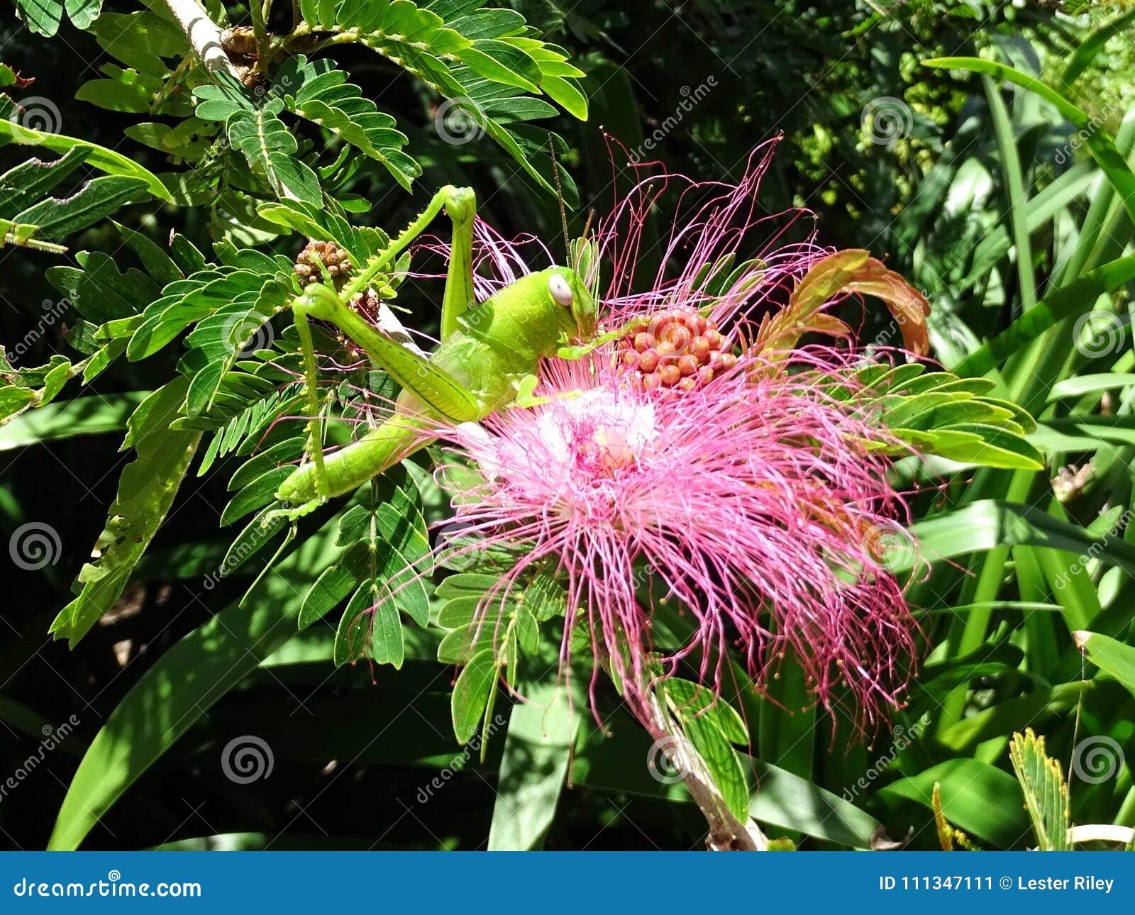 Un saltamontes verde grande que alimenta de una flor rosada mullida del bottlebrush