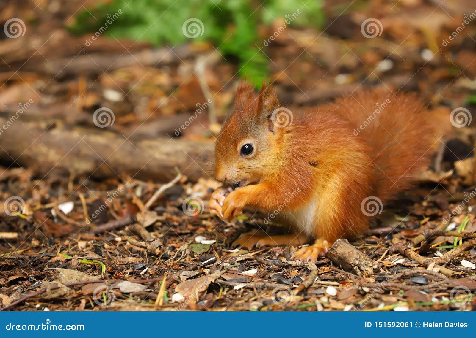 Un Sciurus de la ardilla roja del bebé vulgaris